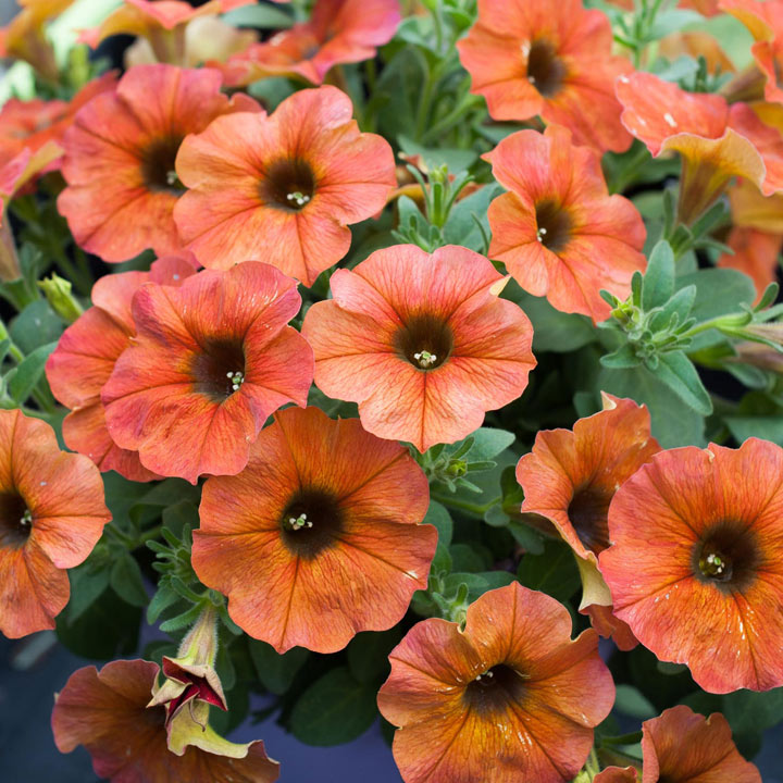 """Super"" Petunia (Beautical) Plants - Cinnamon"