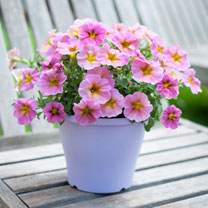 """Super"" Petunia (Beautical) Plants - Sunray Pink"