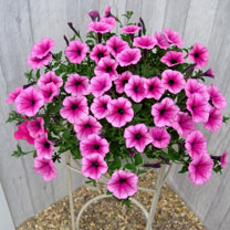 Petunia Surfinia Large Flowered Plants - Pink Vein