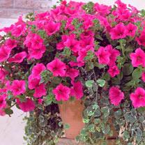 Petunia Surfinia Large Flowered Plants - Hot Pink