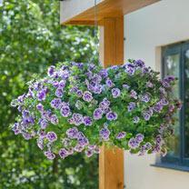 Petunia Plants - Tumbelina Priscilla Profusion