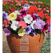 Petunia Plants - Frenzy Mixed
