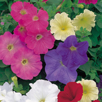 Petunia Plants - F1 Select Improved Mix