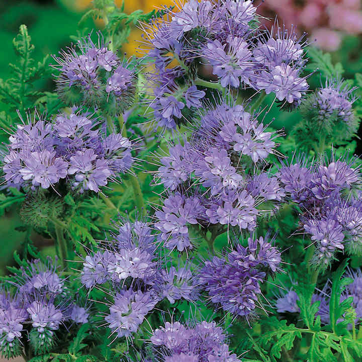 Phacelia Seeds - Lacy