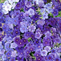 A lovely mix containing a range of blue shades highlighted by a small percentage of white. Plants produce a profusion of flowers over a long season. I