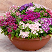 A British bred variety boasting a wide range of colours and several flower shapes. Plants will perform superbly in borders or containers, and are self