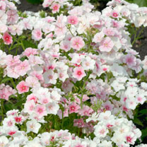 Phlox drummondii Seeds - Blushing Bride