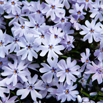 Phlox subulata Plants - Spring Blue