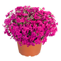 Phlox subulata Plants - Spring Hot Pink