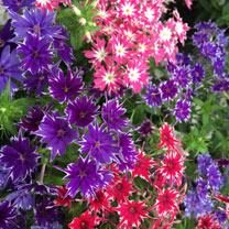 Phlox Plants - Popstars
