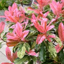Photinia Plant - Pink Crispy