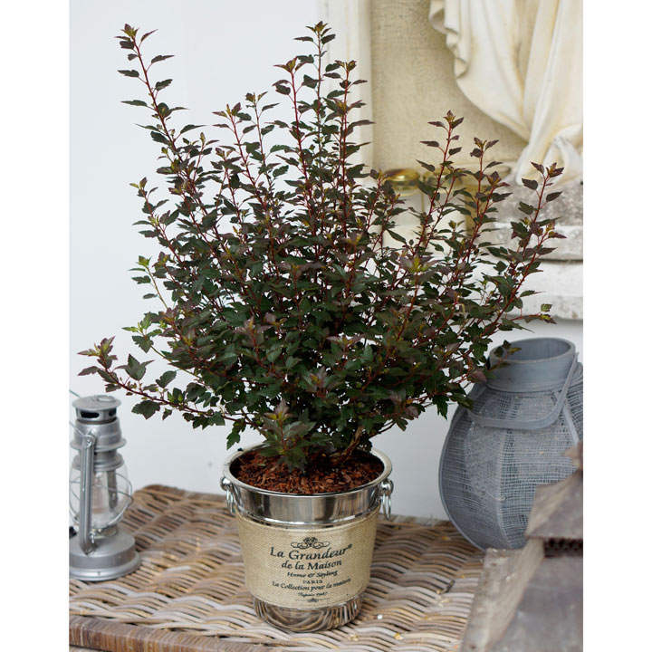 Physocarpus opulif. Plant - Little Joker®