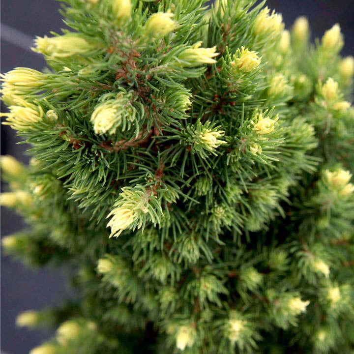 Picea glauca Plant - Rainbow's End