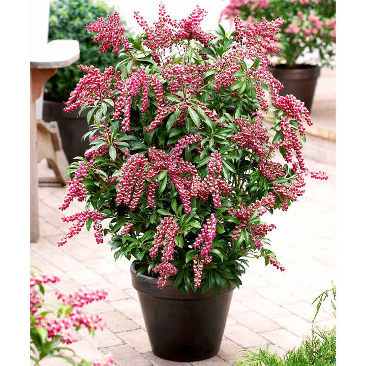 Pieris jap. Plant - Passion