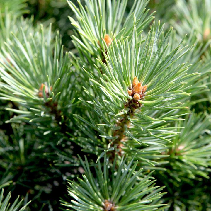 Pinus sylvestris Plant - Watereri