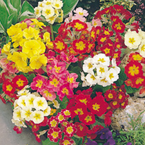 White, yellow, red crimson and blue shades. Very hardy. Large flowers. Sensational spring colour. Large single flowers in clustered heads, on long, fi