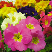 Winter/Spring Bedding Plants - Lucky Dip