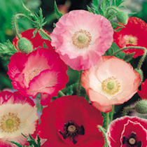 Click to view product details and reviews for Poppy Seeds Shirley Mix.