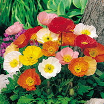Click to view product details and reviews for Poppy Seeds Iceland Poppy.