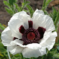 Papaver Bulbs - Snow Goose
