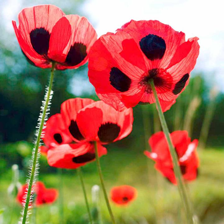 Poppy Seeds - Ladybird