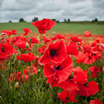 Click to view product details and reviews for Poppy Seeds Field Poppy Rhoeas.