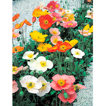 Poppy Plants - Champagne Bubbles Mix