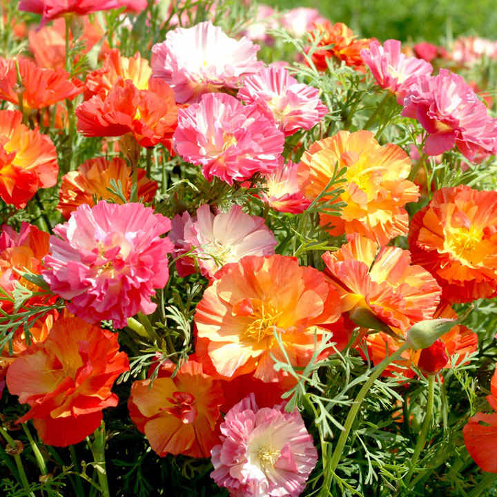 Poppy Californian Seeds - XL Jelly Beans