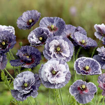 Poppy Seeds Amazing Grey