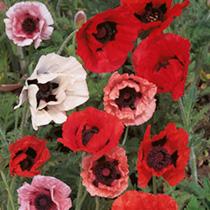 Poppy Seeds Pizzicato Mix