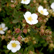 Potentilla fruticosa Plant - White Lady®
