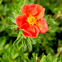 Potentilla f. Plant - Red Ace