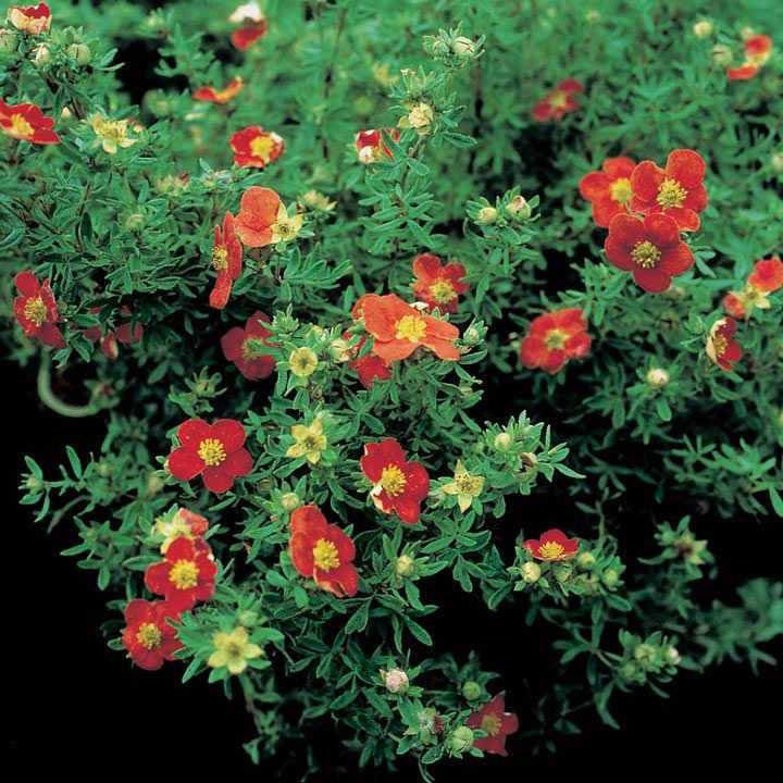 Potentilla fruticosa Plant - Marian Red Robin