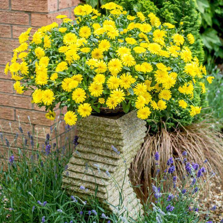Calendula Powerdaisy Plants - Sunny