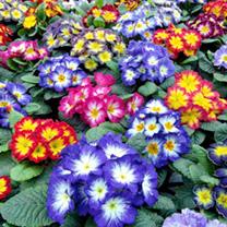 Primrose Plants - Starflame Mix