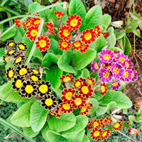 A long-flowering mix producing multiple stems topped with large blooms with yellow centres and gold or silver laced edges set off against lush mid gre