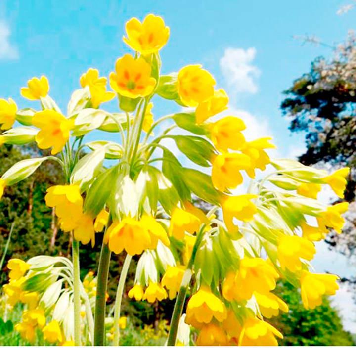 Primula veris Plants