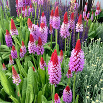 Popular Perennial Plants - PLUS 3 FREE Primula Vialii