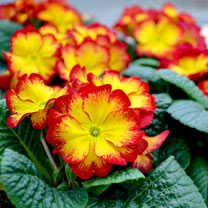 Primula Plants - Rambo Red Flame