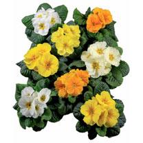 Primula Plants - Rambo Daffodil Mix
