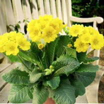 Primula Plants - Veristar Yellow