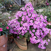 Primula Plants - Ooh la la Pastel Pink
