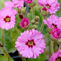 Primula Potted Plant - Ooh la la Pastel Pink