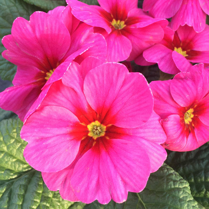Primula Plants - Raspberry Rose