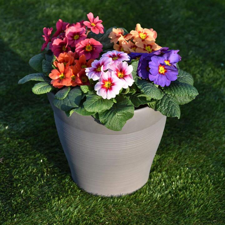 Primula Plants - Ringo Star Mix