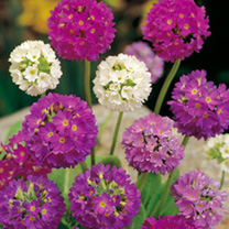 Click to view product details and reviews for Primula Seeds Denticulata Hybrids.