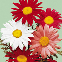 Pyrethrum Seeds Large Flowered Hybrids