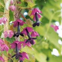 Beautiful bell-shaped blooms. Ideal against a wall or fence. Also looks good trailing from hanging baskets. A popular, fast-growing climber for the gr