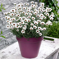 Rhodanthemum Plants -Casablanca