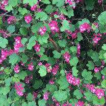 Ribes Plants - King Edward